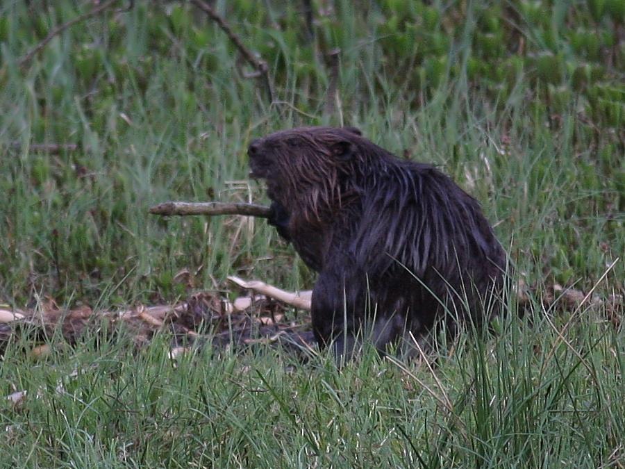 A Bamff beaver enjoys a snack.