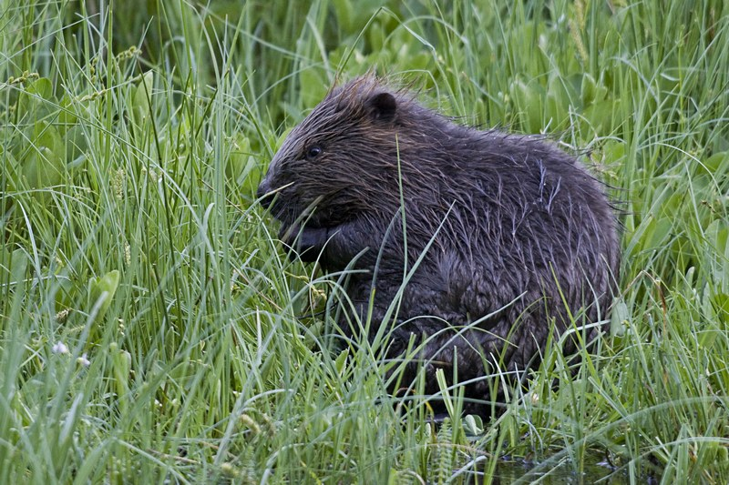 A young beaver enjoys the summer vegetation.