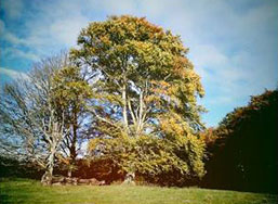 About Bamff - Beech trees in summer