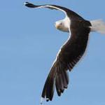 Black Backed Gull, bird watching on Bamff