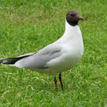 Black Headed Gull, bird watching on Bamff