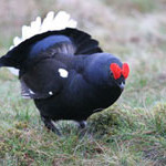 Black Grouse, bird watching on Bamff