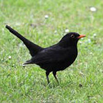 Blackbird, bird watching on Bamff