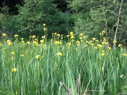 Yellow Flag Irises