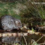 Eurasian beaver (Castor fiber) gnawing bark from a branch it has cut at a feeding station at the edge of its pond at night, Tayside, Perthshire, Scotland, UK, May. Taken with a remote camera trap.