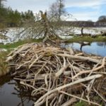 Stream dammed with tree branches cut and stripped of bark by Eurasian beavers (Castor fiber) in the grounds of Bamff estate, Alyth, Perthshire, Tayside, Scotland, UK, April.