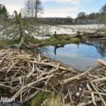 Stream dammed with tree branches cut and stripped of bark by Eurasian beavers (Castor fiber) in the grounds of Bamff estate, with arable farmland in the background, Alyth, Perthshire, Tayside, Scotland, UK, April.