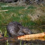 Eurasian beaver (Castor fiber) gnawing bark from a branch it has cut at a feeding station at the edge of its pond at dusk, Tayside, Perthshire, Scotland, UK, May. Taken with a remote camera trap.