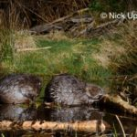 One Eurasian beaver (Castor fiber)  grooms as another gnaws bark from a cut branch at a feeding station at the edge of their pond at night, Tayside, Perthshire, Scotland, UK, May. Taken with a remote camera trap.