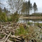 Lodge built with tree branches cut and stripped of bark by Eurasian beavers (Castor fiber) on the shore of a small lake on Bamff estate, Alyth, Perthshire, Tayside, Scotland, UK, April.