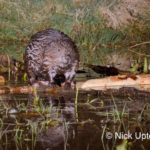Eurasian beaver (Castor fiber) standing on a branch it has cut at a feeding station at the edge of its pond at dusk, Tayside, Perthshire, Scotland, UK, May. Taken with a remote camera trap.
