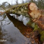 Downy birch tree (Betula pubescens) felled by Eurasian beavers (Castor fiber) with some of its bark gnawed off by them, lying across a stream in the grounds of Bamff estate, Alyth, Perthshire, Tayside, Scotland, UK, April. Fisheye lens view.