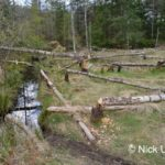 Several young Birch trees (Betula sp.) felled by Eurasian beavers (Castor fiber), close to a drainage channel used ror access, creating a clearing in mixed woodland, Bamff Estate, Alyth, Tayside, Perthshire, Scotland, UK, April.