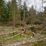 Several young Birch trees (Betula sp.) felled by Eurasian beavers (Castor fiber),  creating a clearing in mixed woodland, Bamff Estate, Alyth, Tayside, Perthshire, Scotland, UK, April.