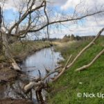 Willow tree (Salix sp.) gnawed by Eurasian beavers (Castor fiber) with a large branch lying across and partially blocking a stream in lowland farmland, Dean Water, near Forfar, Angus, Tayside, Scotland, UK, April.
