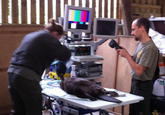 Beaver anaesthetised on table with vet operating