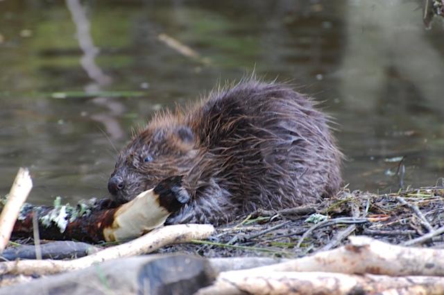 See wild beavers at Bamff