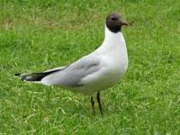 Black Headed Gull, bird watching on Bamff