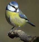 Blue tit, bird watching on Bamff